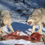 wolves eating pray