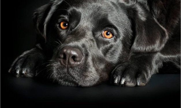 LABRADOR'S WITH SKIN INFECTIONS CURED  WITH A RAW FOOD DIET