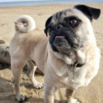 Mojo a pug switched to raw at 6 years old and become much healthier