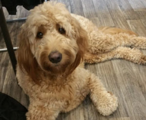 Goldendoodle improved on a raw food diet